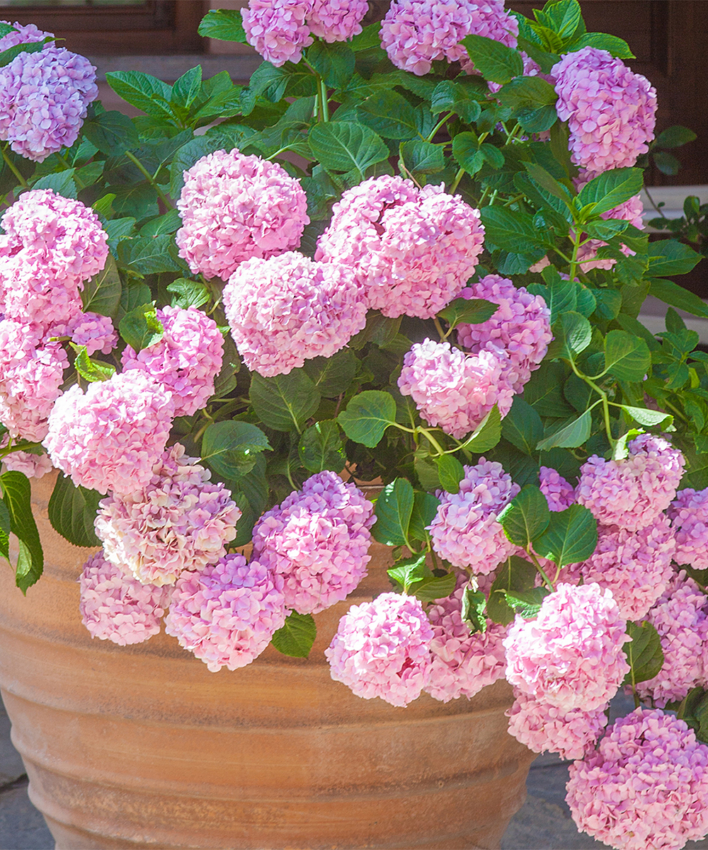 Live Pink Beauty Hydrangea Bare-Root