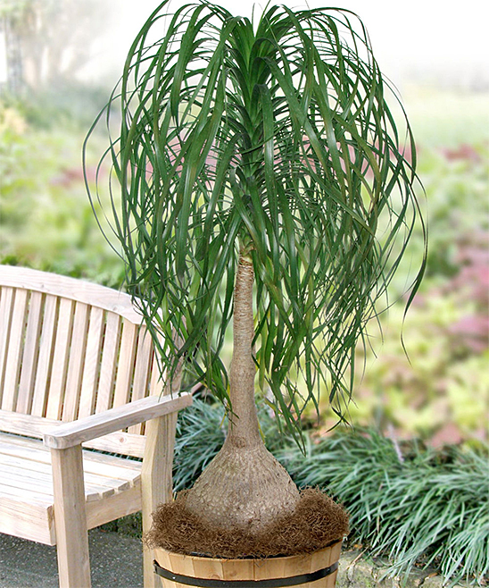 Cottage Farms Direct Live Beaucarnia Ponytail Palm Plant   Zulily on indoor pony tail plant, corn house plant, indoor palms low light, wicker basket with silk areca palm plant, ponytail bonsai plant, elephant foot house plant,