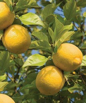 bloomsz | Live Lemon Tree