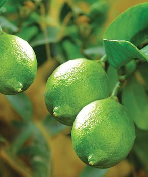 bloomsz | Live Lime Tree