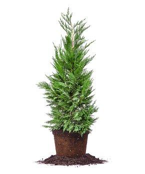 Spring Hill Nursery | Live Buxus Sempervirens 'Vareigata' Plant