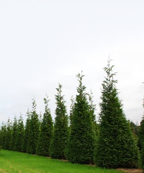 Perfect Plants | Live Thuja Green Giant
