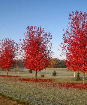 Perfect Plants | Live Autumn Blaze Maple Tree