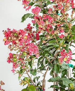 Perfect Plants | Live Long Leaf Pine Tree