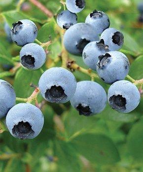 bloomsz | Live Blueberry Bush