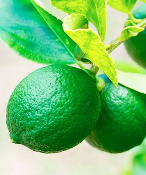 bloomsz | Live Dwarf Persian Lime Tree