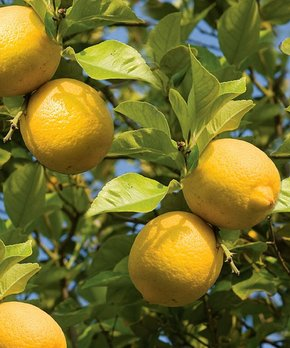 bloomsz | Live Dwarf Meyer Lemon Tree