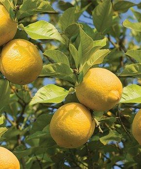 bloomsz | Live Meyer Lemon Tree