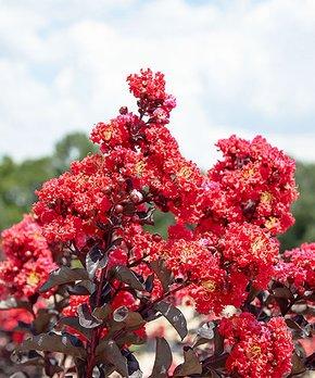 Perfect Plants | Live Black Diamond® Best Red® Crape Myrtle Tree
