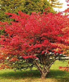 Van Zyverden | Red Burning Bush Root Stock
