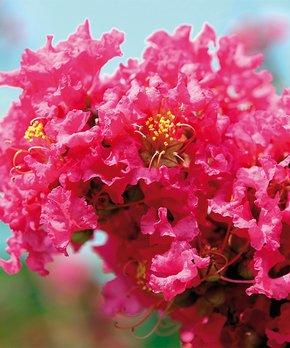 Van Zyverden | Pink Crape Myrtle Root Stock