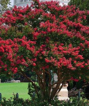 Van Zyverden | Red Crape Myrtle Root Stock