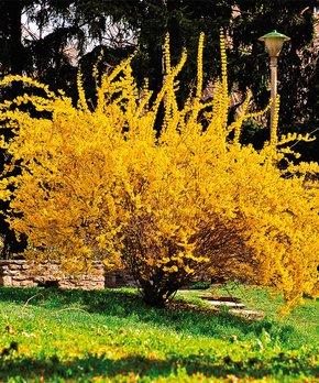 Van Zyverden | Lynwood Gold Forsythia Root Stock