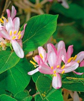 Van Zyverden | Pink Honeysuckle Root Stock
