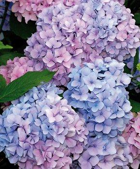 Van Zyverden | Nikko Blue Hydrangea Root Stock