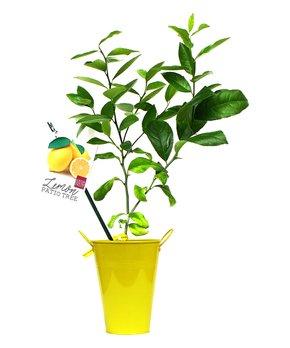 bloomsz | Live Key Lime Citrus Tree