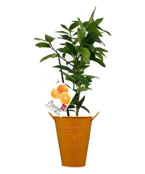 Van Zyverden | Orange Navel Citrus Tree in Decorative Patio Planter