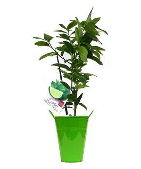 Spring Hill Nursery | Live Chamaecyparis Obtusa 'Thoweil' Plant