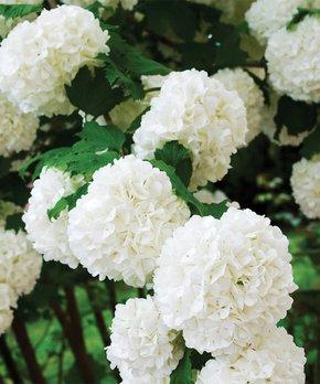 Spring Hill Nursery | Live Chamaecyparis Obtusa 'Fernspray Gold' Plant