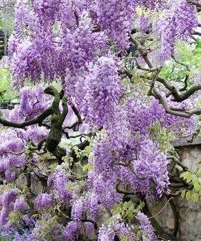 Van Zyverden | Purple Wisteria Root Stock