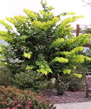 Perfect Plants | Live Santa Rosa Plum Tree