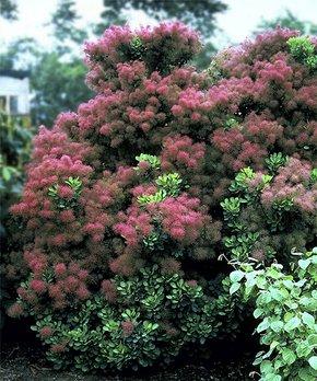 Cottage Farms Direct | Live Cotinus 'Royal Purple' Smoke Tree