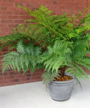 Seedling & Sprout  | Live Australian Cyathea Tree Fern