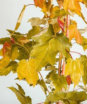 Van Zyverden | Persian Lime Citrus Tree in Decorative Patio Planter
