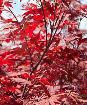 Perfect Plants | Live Bloodgood Japanese Maple Tree