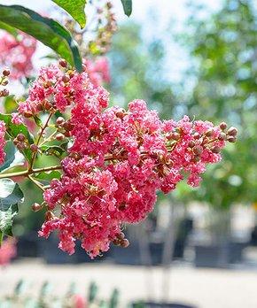 Perfect Plants | Live Black Diamond® Pure White® Crape Myrtle Tree