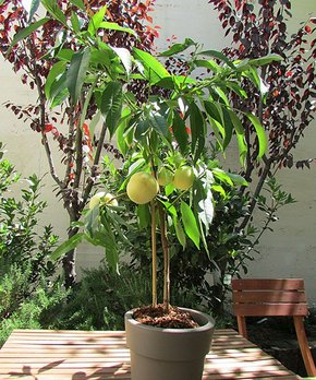 Cottage Farms Direct | Live 'Icepeach®' Prunus Patio Tree