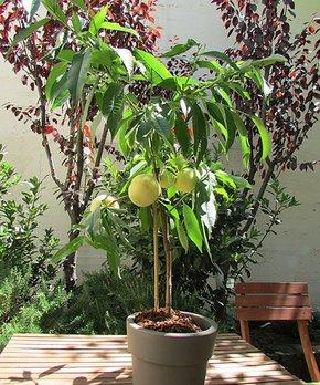 Cottage Farms Direct | Live 'Icepeach®' Prunus Patio Tree