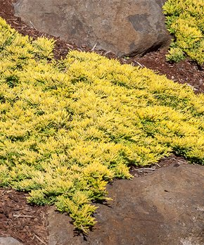 Spring Hill Nursery | Live Juniperus Horizontalis 'Mother Lode' Plant