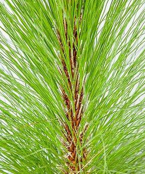 Van Zyverden | McIntosh Apple Tree Root Stock