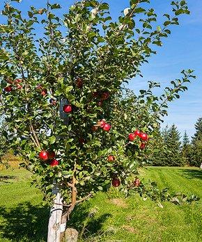 Van Zyverden | Honeycrisp Apple Tree Root Stock