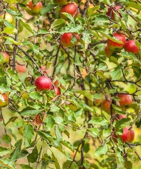 bloomsz | Live Hamlin Orange Tree