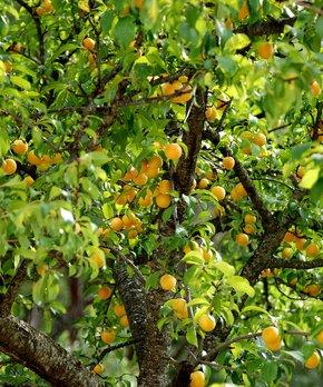 Cottage Farms Direct | Live Cercis 'Rising Sun' Redbud Tree