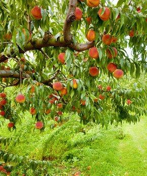 Van Zyverden | Contender Peach Tree Root Stock
