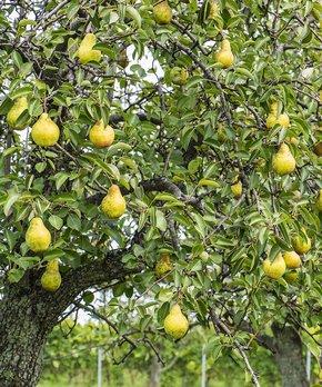 Van Zyverden | Kieffer Pear Tree Root Stock