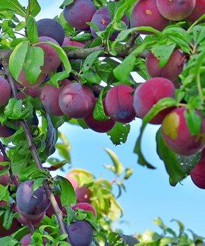 Van Zyverden | Moorpark Apricot Tree Root Stock
