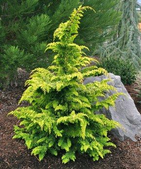 Perfect Plants | Live Brandywine Maple Tree