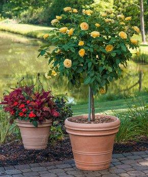 Spring Hill Nursery | Live Doris Day Tree Rose Bareroot