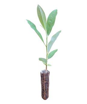 The Jonsteen Company | Sweetbay Magnolia Live Tree Seedling