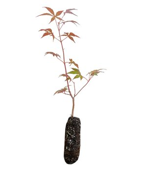 The Jonsteen Company | Japanese Maple Live Tree Seedling