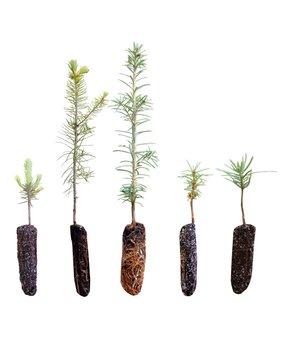 The Jonsteen Company | Christmas Tree Live Tree Seedlings - Set of Five