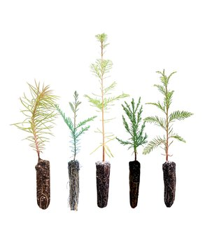 The Jonsteen Company | Redwoods of the World Live Tree Seedlings - Set of Six