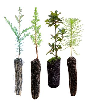 The Jonsteen Company | Oaks of California Live Tree Seedlings - Set of Eight