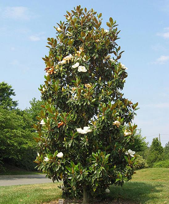 Perfect Plants Live Little Gem Magnolia Tree Zulily