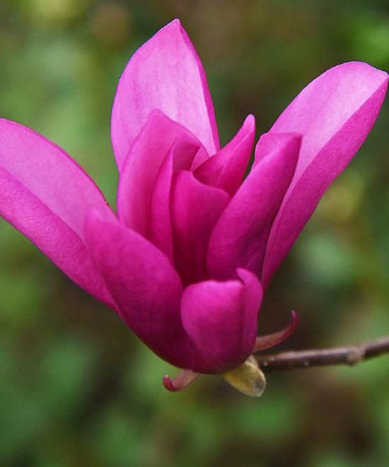 Perfect Plants Live Ann Magnolia Tree Zulily