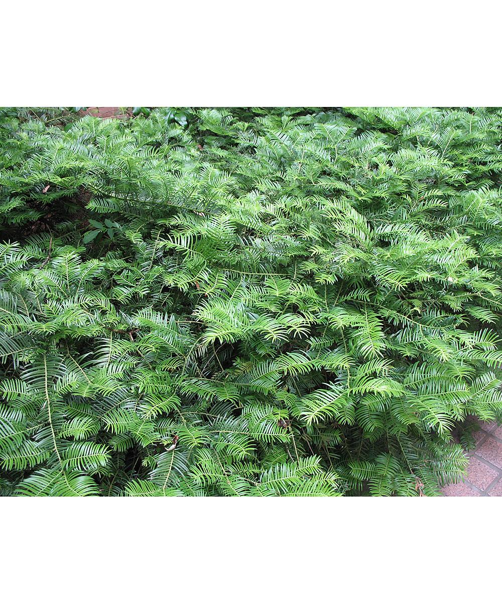 Perfect Plants Live Spreading Yew